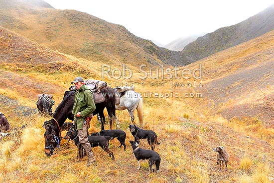 Tom O'Sullivan, Molesworth stockman, taking a break with horse and dogs in head of Robinson Creek on autumn Lake McRae muster, Molesworth Station, Marlborough District, Marlborough Region, New Zealand (NZ) stock photo.