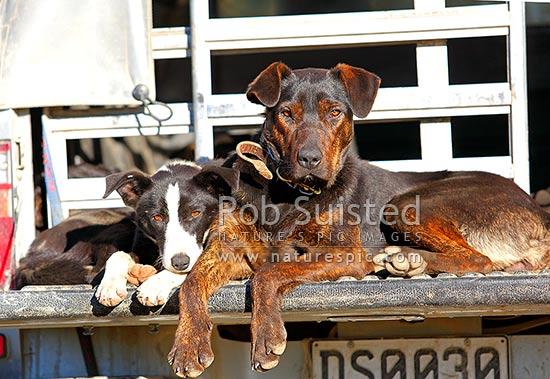 Working Farm Stock Dogs Border Collie Heading Dog And