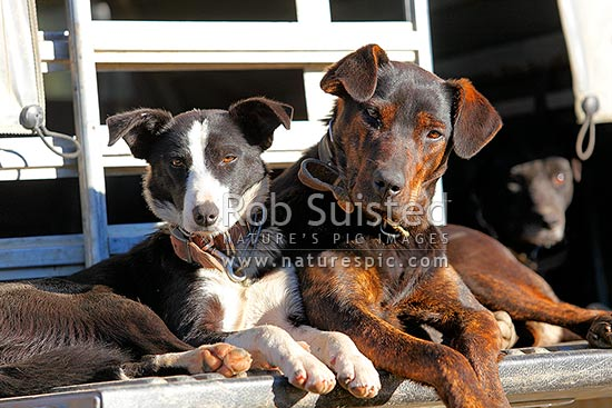 Working farm stock dogs, border collie heading dog and huntaway (right), enjoying the sun together on the back of farm ute or truck, New Zealand (NZ) stock photo.