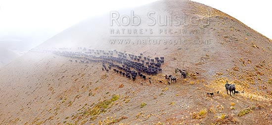 Stockmen, horses and dogs pushing 400 cattle to Lake McRae (left) down Driving Spur on Autumn muster over Robinson Saddle. Panorama, Molesworth Station, Marlborough District, Marlborough Region, New Zealand (NZ) stock photo.
