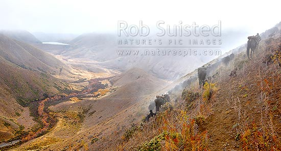 Stockmen, horses and dogs, pushing 400 steaming cattle to Lake McRae (left) down Driving Spur on Autumn muster over Robinson Saddle. Tweed River. Panorama, Molesworth Station, Marlborough District, Marlborough Region, New Zealand (NZ) stock photo.