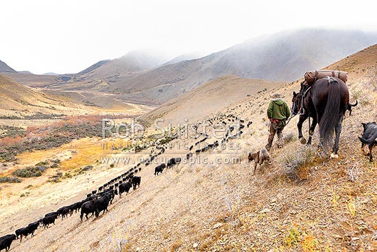 Stockman with horse and dogs pushing cattle down Driving Spur towards Lake McRae in Autumn muster. Tom O'Sullivan, Molesworth Station, Marlborough District, Marlborough Region, New Zealand (NZ) stock photo.