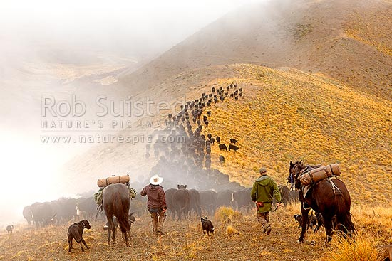 Stockmen, horses and dogs pushing 400 cattle to Lake McRae (left top) down Driving Spur on Autumn muster over Robinson Saddle. Andy McLachlin and Tom O'Sullivan, Molesworth Station, Marlborough District, Marlborough Region, New Zealand (NZ) stock photo.