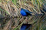 Pukeko in wetland