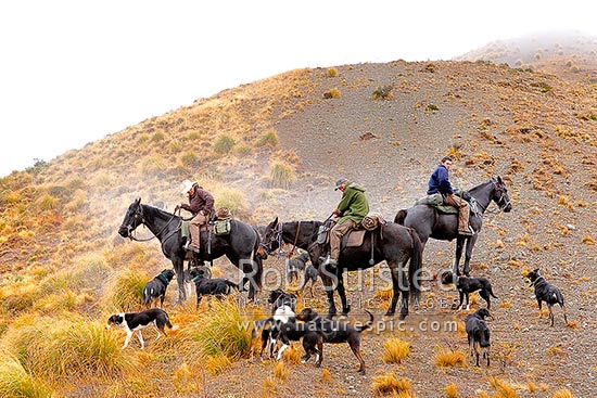 Stockmen spelling tired horses while climbing Driving Spur towards Robinson Saddle at end of autumn muster. Andy McLachlan, Tom O'Sullivan and Cory Hollister, with dogs, Molesworth Station, Marlborough District, Marlborough Region, New Zealand (NZ) stock photo.