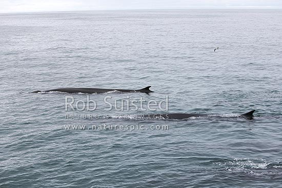 Fin whales (Balaenoptera physalus), also called the finback whale or razorback, in a pod of 7 whales, Davis Strait, Greenland stock photo.