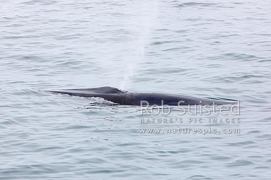 Fin whale surfacing and blowing, showing prominent splashguard (Balaenoptera physalus), also called the finback whale or razorback, Davis Strait, Greenland stock photo.