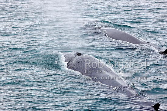 Fin whale surfacing and blowing, showing paired blowholes with prominent splashguard (Balaenoptera physalus), also called the finback whale or razorback, Davis Strait, Greenland stock photo.
