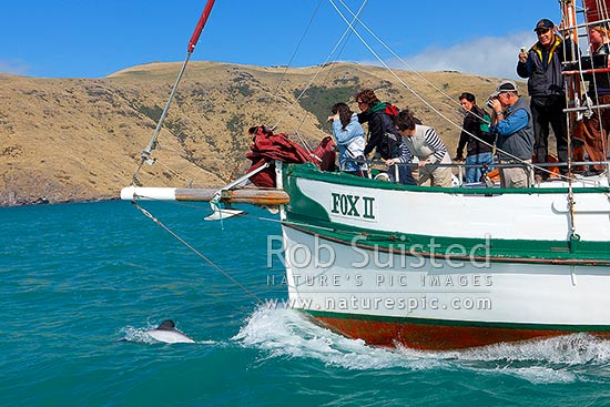 Hector's dolphin bowriding on tourist dolphin viewing boat cruise onboard the Fox II (Cephalorhynchus hectori), Banks Peninsula, Akaroa, Christchurch City District, Canterbury Region, New Zealand (NZ) stock photo.