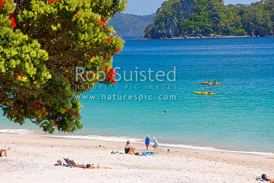 Hahei beach in summertime with flowering pohutukawa tree. Swimmers, sea kayakers, sunbathers, families enjoying the holidays, Hahei, Coromandel Peninsula, Thames-Coromandel District, Waikato Region, New Zealand (NZ) stock photo.