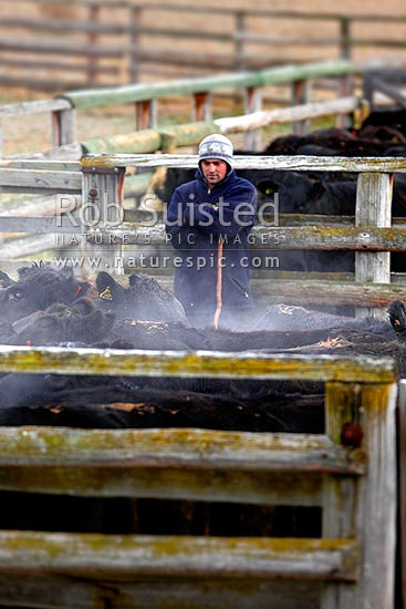 Stockman Cory Hollister amongst cattle in the Molesworth Station yards on a cool autumn morning, Molesworth Station, Marlborough District, Marlborough Region, New Zealand (NZ) stock photo.