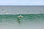 Gannet bird soaring on waves