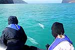 Hector's Dolphin viewing