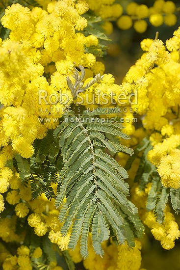 Silver Wattle Tree Flowers Large Racemose
