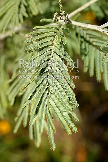 Silver Wattle Tree Leaves Acacia Dealbata Known Also As Blue