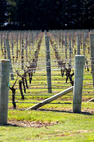 Rows of production grape vines in vineyard during winter, Blenheim, Marlborough District, Marlborough Region, New Zealand (NZ) stock photo.