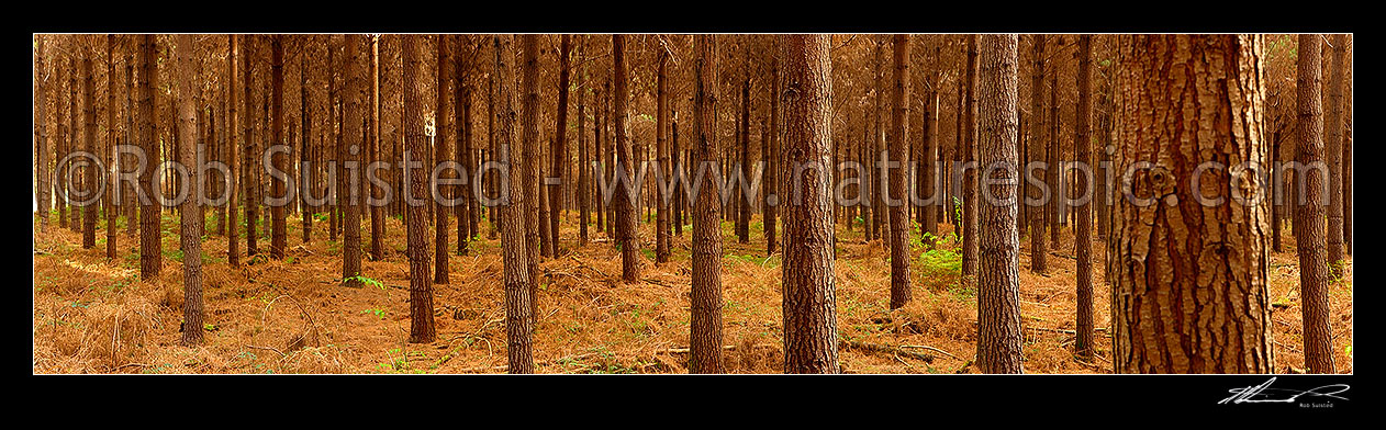 Pine trees pinus radiata in plantation timber forest for Pine tree timber