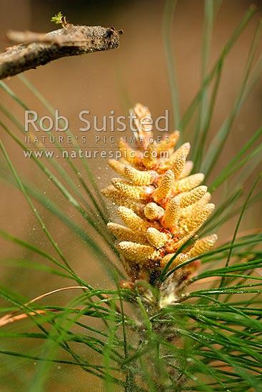 Pine tree male cone and pollen (Pinus radiata)  Plantation