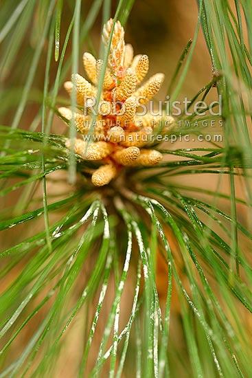 Fyrretræ mandlig kegle og pollen pinus radiata plantage-3982