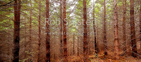 Plantation forest of Douglas-fir trees (Pseudotsuga sp.). Panorama, Nelson, New Zealand (NZ) stock photo.