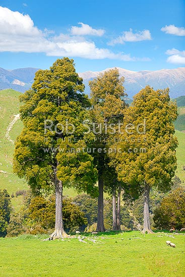 Kahikatea trees standing in farmland (Dacrycarpus dacrydioides; Podocarpaceae), with Ruahine Ranges beyond, Mangaweka, Manawatu District, Manawatu-Wanganui Region, New Zealand (NZ) stock photo.