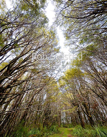 Mountain beech forest canopy (Fuscospora cliffortioides, Syn Nothofagus solandri var. cliffortioides), Tongariro National Park, Taupo District, Waikato Region, New Zealand (NZ) stock photo.