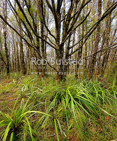 Mountain beech forest interior (Fuscospora cliffortioides, Syn Nothofagus solandri var. cliffortioides). Square format, Tongariro National Park, Taupo District, Waikato Region, New Zealand (NZ) stock photo.