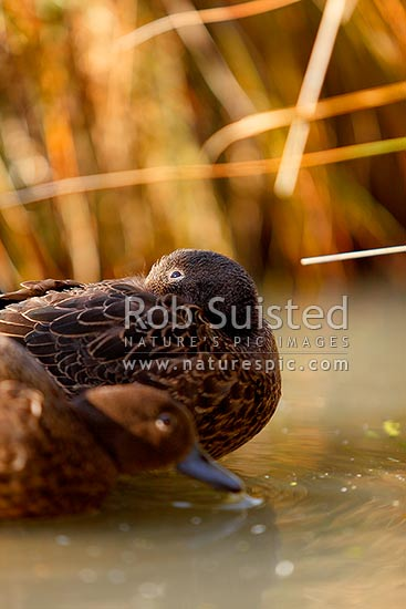 Brown teal or Pateke, watching for aerial predators while resting, endangered NZ endemic waterfowl, (Anas chlorotis), New Zealand (NZ) stock photo.