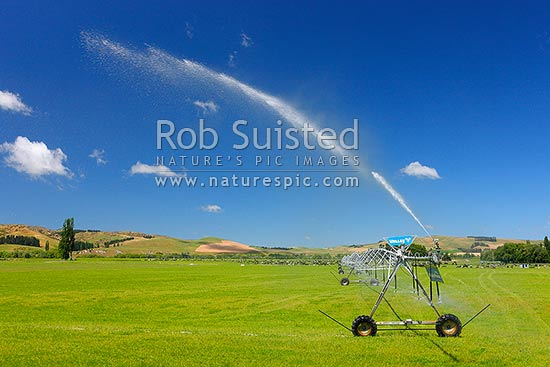 Pivot irrigator watering dairy pasture on the Amuri Plain, with dairy cows grazing behind, Culverden, Hurunui District, Canterbury Region, New Zealand (NZ) stock photo.