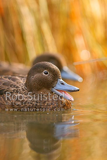 Male brown teal with open bill (Pateke), endangered NZ endemic waterfowl, (Anas chlorotis), New Zealand (NZ) stock photo.