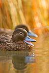 Brown teal, NZ native