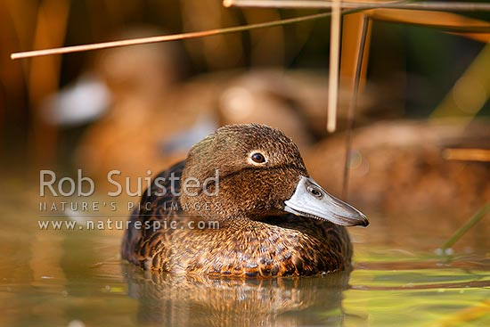 Brown teal (or Pateke) on wetland pond, endangered NZ endemic waterfowl, (Anas chlorotis), New Zealand (NZ) stock photo.
