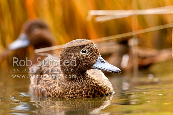 Brown teal (or Pateke) on wetland pond showing bill strainer used in filter feeding, endangered NZ endemic waterfowl, (Anas chlorotis), New Zealand (NZ) stock photo.