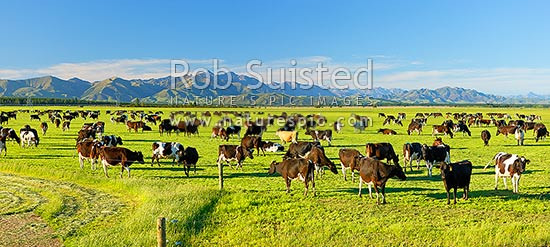 Dairy cows grazing on the Amuri Plain, with Culverden and Hanmer Ranges beyond. Panorama, Culverden, Hurunui District, Canterbury Region, New Zealand (NZ) stock photo.