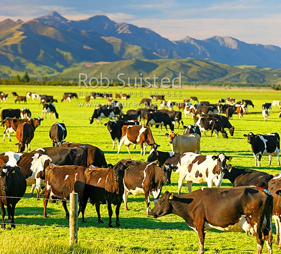 Dairy cows grazing on the Amuri Plain, with Culverden and Hanmer Ranges beyond. Square format, Culverden, Hurunui District, Canterbury Region, New Zealand (NZ) stock photo.