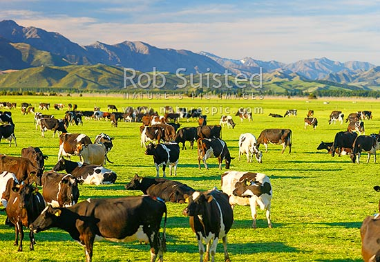 Dairy cows grazing on the Amuri Plain, with Culverden and Hanmer Ranges beyond, Culverden, Hurunui District, Canterbury Region, New Zealand (NZ) stock photo.