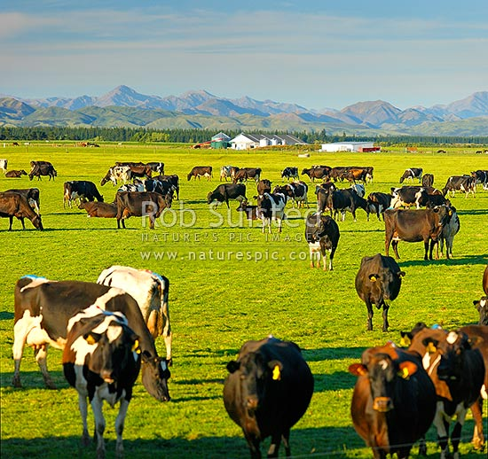 Dairy cows grazing on the Amuri Plain, with milking shed beyond. Culverden and Hanmer Ranges behind, Culverden, Hurunui District, Canterbury Region, New Zealand (NZ) stock photo.