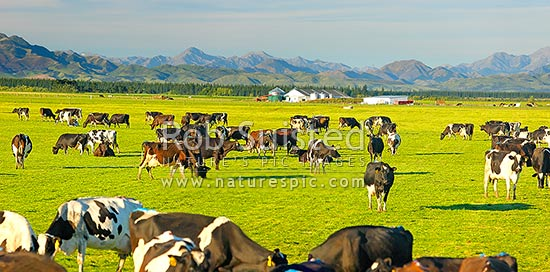 Dairy cows grazing on the Amuri Plain, with milking shed beyond. Culverden and Hanmer Ranges behind. Panorama, Culverden, Hurunui District, Canterbury Region, New Zealand (NZ) stock photo.