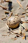 Oystercatcher nest on beach