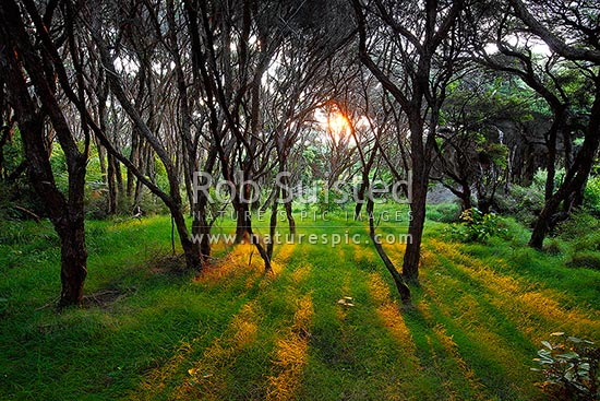 Manuka forest sunset as the last orange golden rays of sun penetrate the canopy, Raglan, Waikato District, Waikato Region, New Zealand (NZ) stock photo.