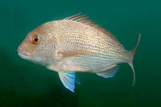 New Zealand Snapper Fish Pagrus Auratus Tamure Kourea