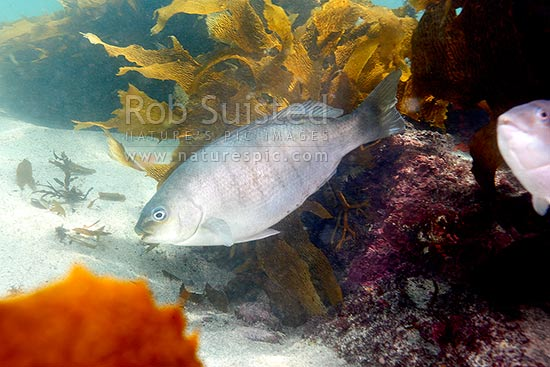 Parore (Girella tricuspidata) fish, New Zealand (NZ) stock photo.