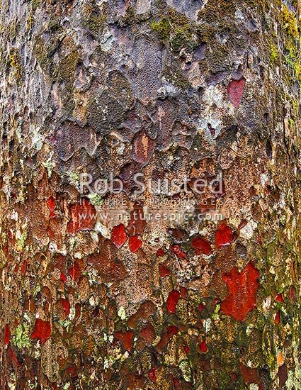 Kauri tree trunk bark texture (Agathis australis). Square format, Far North District, Northland Region, New Zealand (NZ) stock photo.