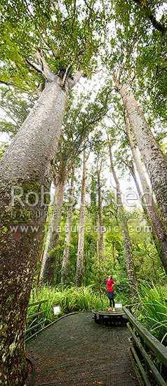 Giant Kauri trees (Agathis australis) with visitor on boardwalk. Manginangina Scenic Reserve, Puketi forest. Vertical panorama, Kerikeri, Far North District, Northland Region, New Zealand (NZ) stock photo.