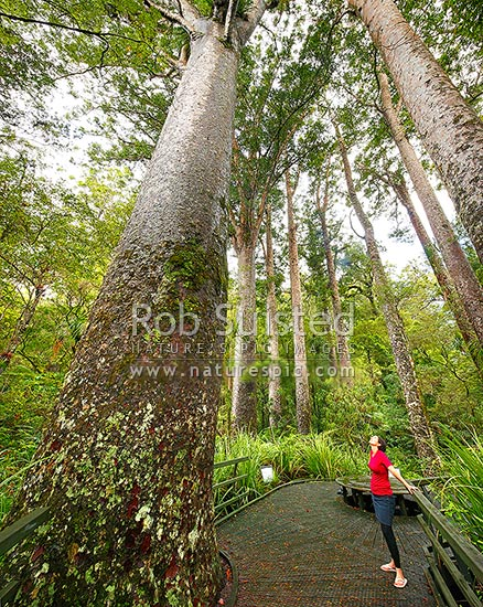 Giant Kauri trees (Agathis australis) with visitor on boardwalk. Manginangina Scenic Reserve, Puketi forest. Square format, Kerikeri, Far North District, Northland Region, New Zealand (NZ) stock photo.