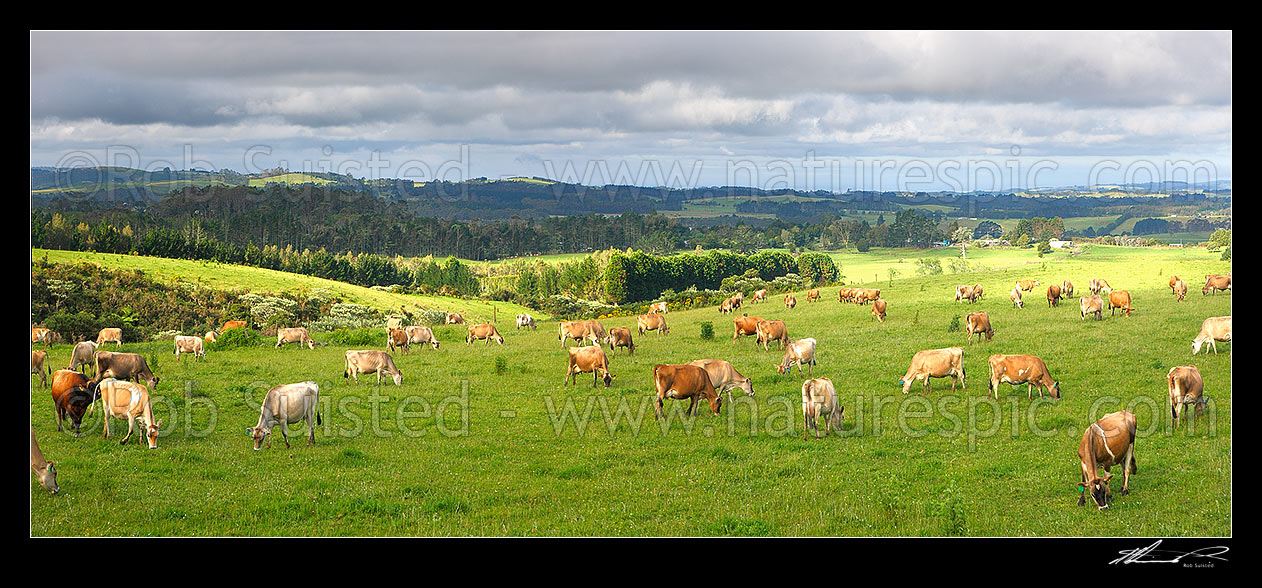 Image of Jersey dairy cows grazing. Panorama, Kerikeri, Far North District, Northland Region, New Zealand (NZ) stock photo image