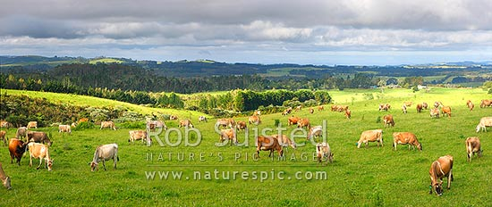 Jersey dairy cows grazing. Panorama, Kerikeri, Far North District, Northland Region, New Zealand (NZ) stock photo.