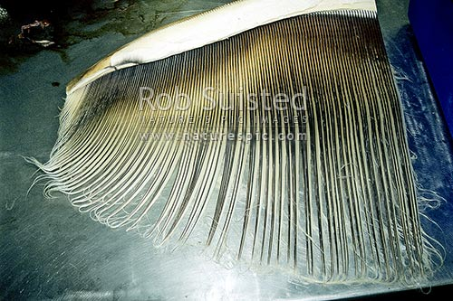Baleen plate from Pygmy Right Whale, Massey University, New Zealand (NZ) stock photo.