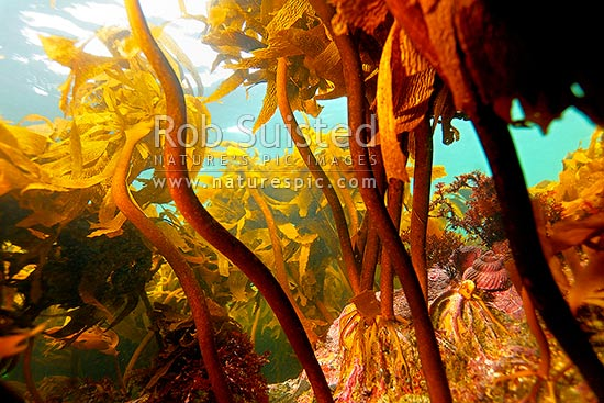 Underwater reef stalked kelp seaweed forest (Ecklonia radiata), with a Cook's turban shell (Cookia sulcata) and pink coralline algae far right, Leigh, New Zealand (NZ) stock photo.
