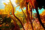 Kelp forest underwater, Northland